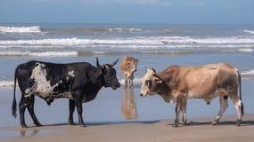 Αγελάδες στην παραλία στο λιμένα ST Johns στην άγρια ακτή, Νότια Αφρική Στο υπόβαθρο, τα παιδιά λούζουν στη θάλασσα στοκ φωτογραφίες