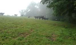 Αγελάδες στην υδρονέφωση Στοκ Εικόνες