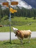 Αγελάδες στη mountaineous περιοχή στοκ φωτογραφίες
