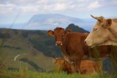 Αγελάδες στον πράσινο τομέα που τρώνε τη χλόη στο νησί των Αζορών στοκ φωτογραφίες
