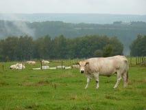 Αγελάδες στον τομέα ξανθό δ ` Aquitaine στοκ φωτογραφίες με δικαίωμα ελεύθερης χρήσης