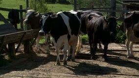Αγελάδες στο αγροτικό ναυπηγείο απόθεμα βίντεο