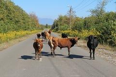 Αγελάδες στο δρόμο στη Γεωργία στοκ εικόνα με δικαίωμα ελεύθερης χρήσης
