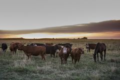 Αγελάδες στο ηλιοβασίλεμα Στοκ Φωτογραφία