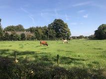 Αγελάδες στο λιβάδι των Κάτω Χωρών Στοκ φωτογραφία με δικαίωμα ελεύθερης χρήσης