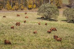 Αγελάδες στο λιβάδι Στοκ Εικόνες