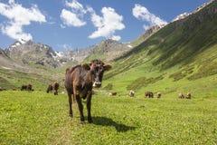 Αγελάδες στο ξέφωτο Στοκ φωτογραφίες με δικαίωμα ελεύθερης χρήσης