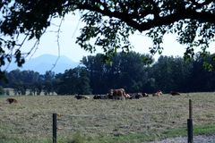 Αγελάδες στο πεδίο Στοκ εικόνες με δικαίωμα ελεύθερης χρήσης