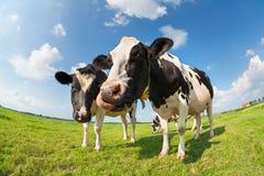 Αγελάδες στο πράσινο λιβάδι χλόης την ηλιόλουστη ημέρα Στοκ φωτογραφία με δικαίωμα ελεύθερης χρήσης