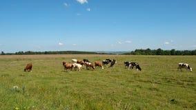 Αγελάδες στο πράσινο λιβάδι Στοκ Φωτογραφίες