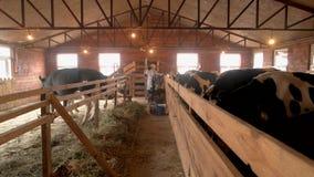 Αγελάδες στο σταύλο στο γαλακτοκομικό αγρόκτημα φιλμ μικρού μήκους