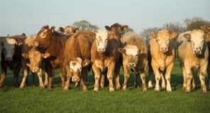 αγελάδες της μεγάλης ο&t στοκ εικόνες