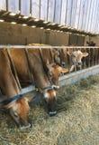Αγελάδες του Τζέρσεϋ που τρώνε το σωρό χλόης, Τζέρσεϋ, Ηνωμένο Βασίλειο Στοκ Εικόνες
