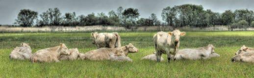 αγελάδες Στοκ εικόνες με δικαίωμα ελεύθερης χρήσης