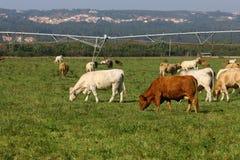 αγελάδες Στοκ φωτογραφίες με δικαίωμα ελεύθερης χρήσης