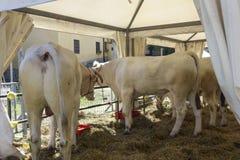 Αγελάδες Chianina σε έναν φράκτη Στοκ φωτογραφία με δικαίωμα ελεύθερης χρήσης