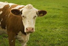 αγελάδα βοοειδών Στοκ εικόνα με δικαίωμα ελεύθερης χρήσης