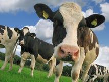 αγελάδα περίεργη Στοκ φωτογραφίες με δικαίωμα ελεύθερης χρήσης