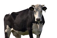 αγελάδα που απομονώνεται Στοκ Φωτογραφία