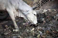 αγελάδα που τρώει τα απο Στοκ Εικόνες