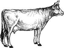 αγελάδα Στοκ εικόνες με δικαίωμα ελεύθερης χρήσης