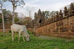 Αγελάδα έξω από Angkor Thom, Καμπότζη Στοκ Εικόνες