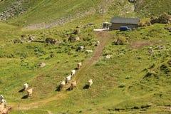Αγελάδα έτοιμη για το άρμεγμα Στοκ Εικόνα