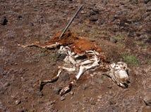 Αγελάδα αποσύνθεσης στοκ φωτογραφία με δικαίωμα ελεύθερης χρήσης