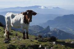 Αγελάδα από την κορυφή Στοκ Φωτογραφίες