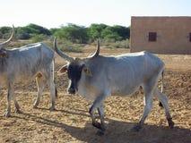 Αγελάδα από τη Σενεγάλη Στοκ φωτογραφία με δικαίωμα ελεύθερης χρήσης