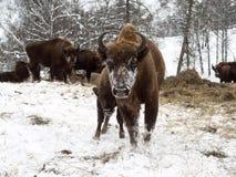 Αγελάδα βισώνων με το νέο μόσχο Βίσωνας αναπαραγωγής στα βουνά Altai Στοκ Εικόνα