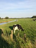 Αγελάδα γεωργίας Στοκ Εικόνες