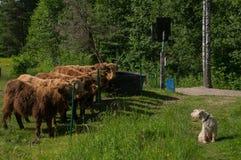 Αγελάδα εναντίον του σκυλιού 1 Στοκ Εικόνες