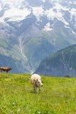αγελάδα Ελβετία στοκ φωτογραφία με δικαίωμα ελεύθερης χρήσης