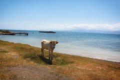 Αγελάδα και λίμνη Στοκ Φωτογραφία