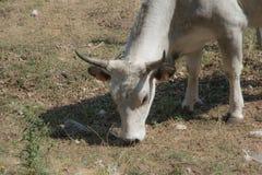 Αγελάδα και λιβάδια Irpinia apennines ιταλικά Campania Νότος Ita Στοκ φωτογραφίες με δικαίωμα ελεύθερης χρήσης