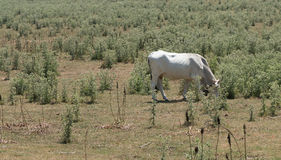 Αγελάδα και λιβάδια Irpinia apennines ιταλικά Campania Νότος Ita Στοκ φωτογραφία με δικαίωμα ελεύθερης χρήσης