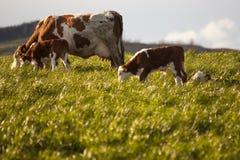 Αγελάδα και μόσχοι στο λιβάδι Στοκ εικόνα με δικαίωμα ελεύθερης χρήσης