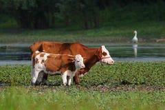 Αγελάδα και μόσχος στο πότισμα της θέσης Στοκ Φωτογραφίες