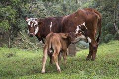 Αγελάδα και μόσχος Στοκ φωτογραφία με δικαίωμα ελεύθερης χρήσης