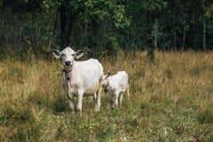 Αγελάδα και μόσχος Στοκ Φωτογραφίες