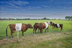 Αγελάδα και μόσχος Lakenvelder Στοκ φωτογραφία με δικαίωμα ελεύθερης χρήσης