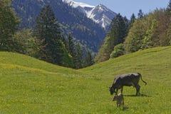 Αγελάδα και ο μόσχος της Στοκ φωτογραφία με δικαίωμα ελεύθερης χρήσης