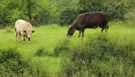 Αγελάδα και ταύρος στοκ φωτογραφία