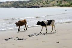 Αγελάδα και το καφετί Bull στην παραλία άμμου, φυσικός κόσμος ζώων, ταξίδι Αφρική Στοκ εικόνες με δικαίωμα ελεύθερης χρήσης