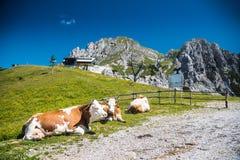 Αγελάδα κινηματογραφήσεων σε πρώτο πλάνο στο βουνό στοκ εικόνες