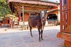 Αγελάδα κοντά σε έναν βουδιστικό ναό, Κατμαντού, Νεπάλ στοκ φωτογραφία