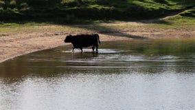 Αγελάδα κωπηλασίας Galloway, Bisonbaai κοντά στο Nijmegen Στοκ φωτογραφία με δικαίωμα ελεύθερης χρήσης