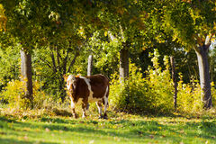 Αγελάδα με τα δέντρα Στοκ Φωτογραφίες