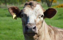 Αγελάδα με την ετικέττα Στοκ Εικόνες